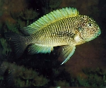 The Genus Tropheus