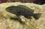 Genyochromis mento - A Wolf In Sheep\'s Clothing?