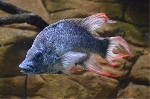 Desperately looking for a female Ptychochromis insolitus