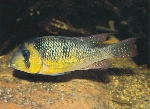 Five new Gymnogeophagus described