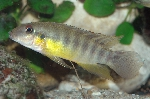 New West African cichlid genus described