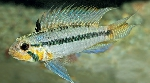 New species of Apistogramma described