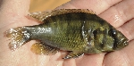 New species of Astatotilapia from the Sahara desert