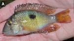A new species of Gymnogeophagus has been described