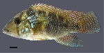 Three new species of Geophagus from eastern Brazil are described