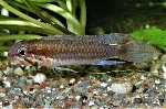 New species of <i>Apistogramma</i> from Colombia described