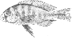 Three snail-eater <i>Haplochromis</i> species from Lake Edward are described