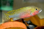Two new genera and species of riverine cichlids from Zambia have been described