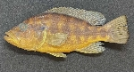 Four new species of Serranochromis described