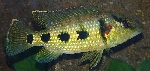 New species of <i>Hemichromis</i> described