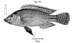 Thoracochromis lucullae