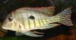 Geophagus sp. \'red head tapajos\' (2)