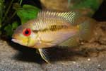 Krobia sp. \'red eyes\'