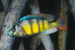 Astatotilapia sp. \'red tail\'