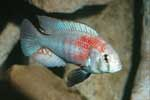 Haplochromis sp. \'hippo point\'