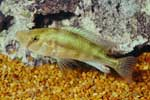 Pyxichromis sp. \'orthostoma yellow\'