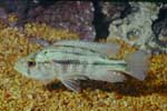 Pyxichromis sp. \'gold large mouth\'