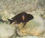 Adult of Tropheus sp. \'black\' at Mabilibili, Lake Tanganyika [Tanzania]