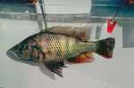 Haplochromis sp. \'thurognathus-like\'