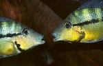A pair of Thorichthys pasionis from Noh Lake, Usumacinta drainage [Mexico], defending their territories in the aquarium