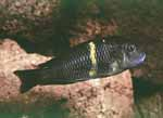 An adult of Tropheus sp. \'black\' from Mboko Island, Lake Tanganyika [Democratic Republic of Congo], in aquarium