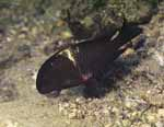 An adult of Tropheus sp. \'black\' at Magara, Lake Tanganyika [Burundi]
