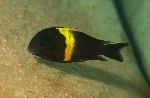 An adult of Tropheus sp. \'black\' at Kizinga, Ubwari Peninsula, Lake Tanganyika [Democratic Republic of Congo]