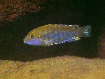 Labidochromis sp. \'blue bar\'