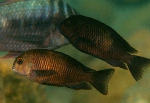 Adults of Tropheus sp. \'black\' at Lueba, Lake Tanganyika [Democratic Republic of Congo]