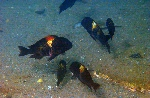 A group of Tropheus sp. \'black\' at Mucansi, Lake Tanganyika [Burundi]