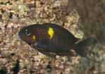 An adult of Tropheus sp. \'black\' at Muzimu, Lake Tanganyika [Democratic Republic of Congo]
