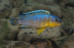 Tropheops sp. \'yellow gular\'
