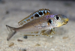 Xenotilapia sp. \'bathyphilus yellow\'