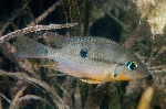 Thorichthys affinis