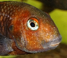 Head picture of a pond-reared Tropheus sp. \'black\' from Karamba, Lake Tanganyika [Democratic Republic of Congo] in the aquarium of Eric Dasmien [France]. The very light coloration of this otherwise dark fish is due to the surroundings