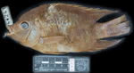 Holotype of Cincelichthys bocourti stored in the National Natural History Museum (Muséum National d\'Historie Naturelle) [Paris] with registration MNHN-IC-1894-0241. The specimen was collected by Marie Firmin Bocourt in Lake Izabal [Guatemala]. It is reproduced here under Creative Commons 4.0 license granted by the MNHN. Photo by L. Randrihasipara