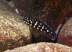 Julidochromis sp. \'ornatus kombe\'