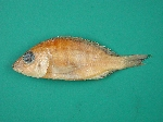 Placidochromis turneri