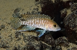 Neolamprologus ventralis