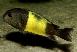 A female of Tropheus sp. \'ikola\' from Lake Tanganyika [Tanzania] in the aquarium [France]. Note the blackish impurity in the yellow band, a residue of the dark bars of the juvenile pattern which otherwise vanish completely in adulthood