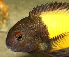 Head picture of a male of Tropheus sp. \'ikola\' from Lake Tanganyika [Tanzania] in the aquarium of Marta Mierzenska [Poland]