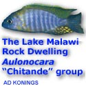 The Lake Malawi Rock Dwelling Aulonocara \